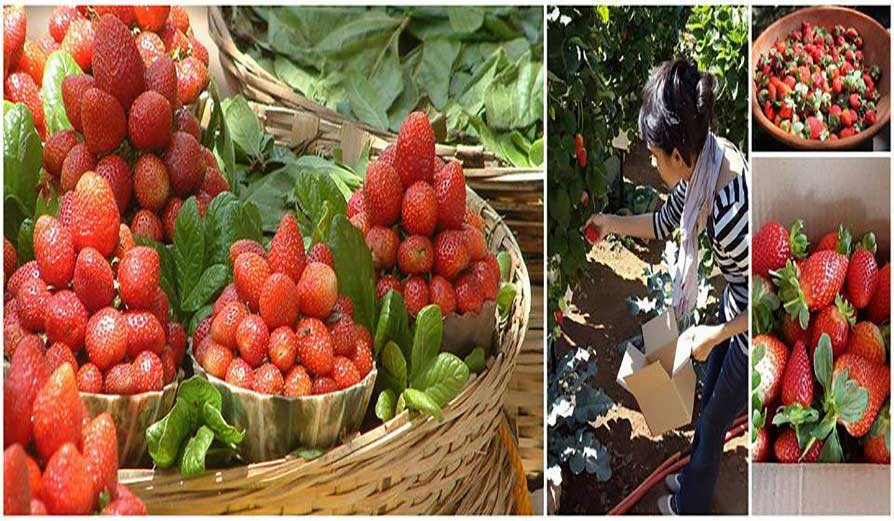 Strawberry Picking at Panchgani