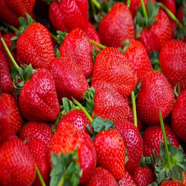 Strawberry Picking at Farms in Wai